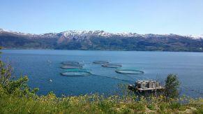 Heute noch in Norwegen, übermorgen schon beim Edeka in Pankow: Lachse auf einer Farm.